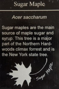 SugarMaple